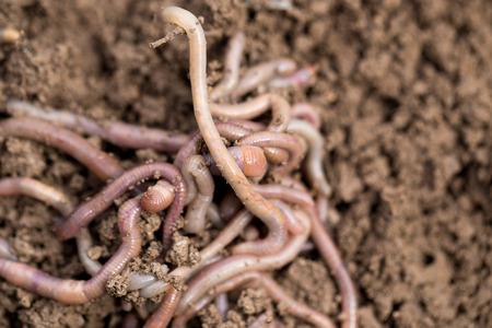 earthworms: las lombrices de tierra en suelo. macro