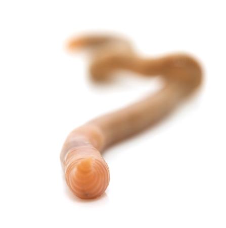 wigglers: animal earthworm isolated on white Stock Photo
