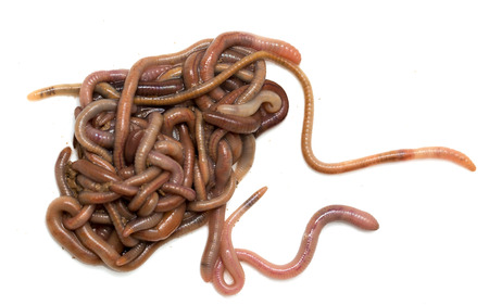 wigglers: earthworms on a white background. Macro Stock Photo