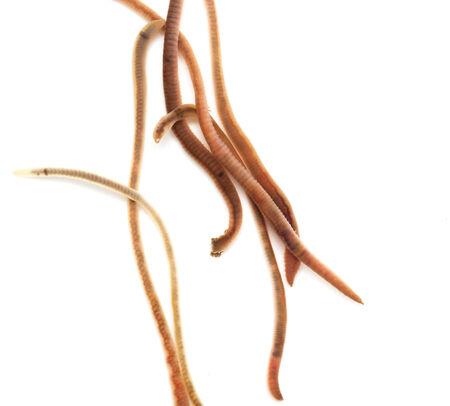 earthworms on a white background. Macro photo