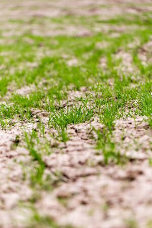 accrued: wheat germ on the field Stock Photo