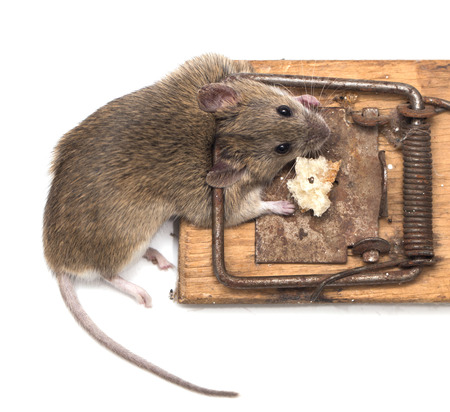 mouse mousetrap on a white background photo
