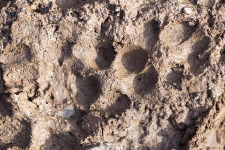 huellas de perro: huellas de perro en el barro Foto de archivo