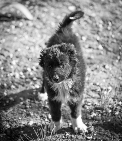 portrait of a black puppy photo