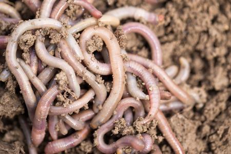 earthworms: las lombrices de tierra en el suelo. macro Foto de archivo