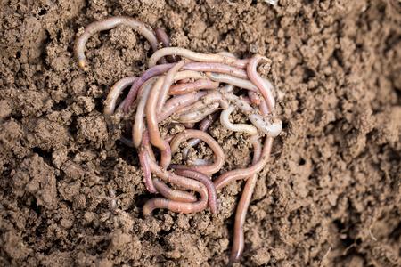 earthworms on soil. macro photo