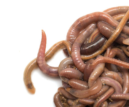 earthworms on a white background. Macro photo