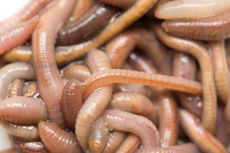 earthworms: lombrices de tierra. Macro