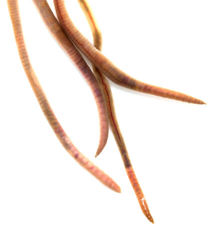 anguine: earthworms on a white background. Macro Stock Photo