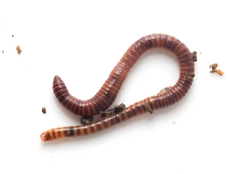 wigglers: worm on a white background Stock Photo