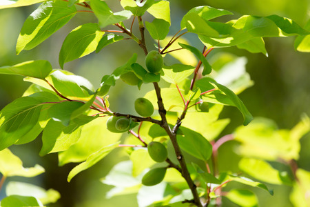 green apricots on the tree in nature photo