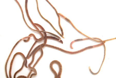 anguine: earthworms on a white background