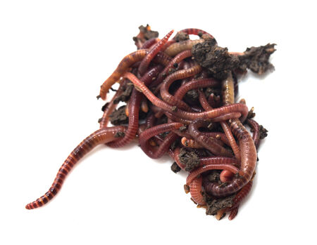 vermiculture: worm in the ground on a white background Stock Photo