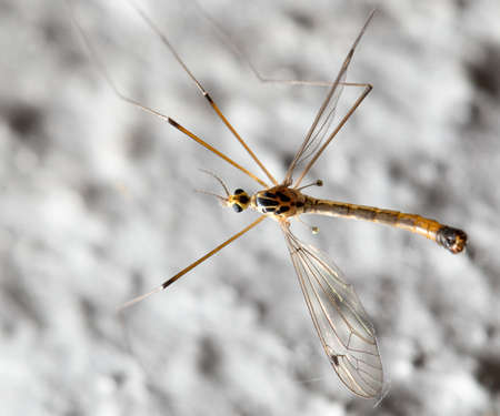 daddy long legs: large mosquito. macro