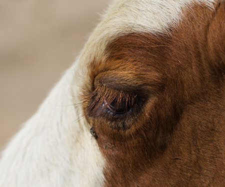holsteine: eye cows Stock Photo