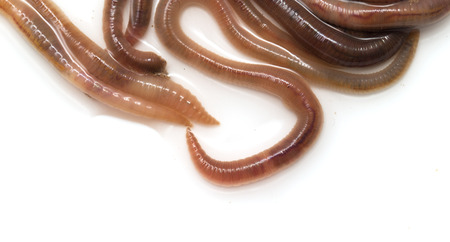 earthworms on a white background photo