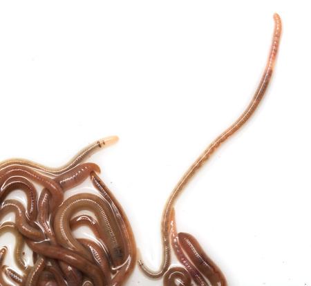 earthworms: lombrices de tierra sobre un fondo blanco