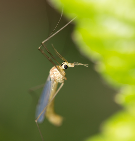 mosquito in nature. macro photo