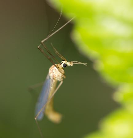 albopictus: mosquito in nature. macro