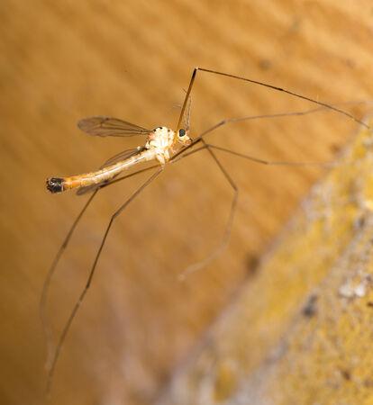 large mosquito. macro Stock Photo - 29144720