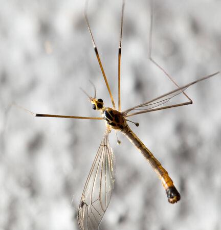 large mosquito. macro Stock Photo - 29144721