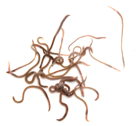 wigglers: earthworms on a white background