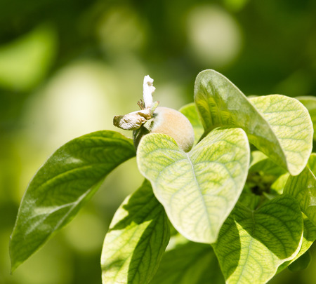 quince tree in nature photo
