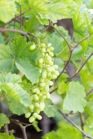 young grapes on nature