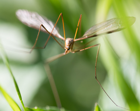 tipulidae: mosquito in the grass outdoors. macro