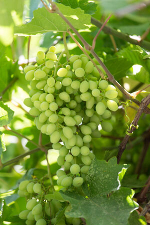sauternes: young grapes on nature