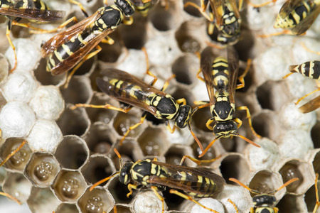 pupae: Wasp Nest with Pupae