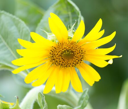 sunflower on nature photo