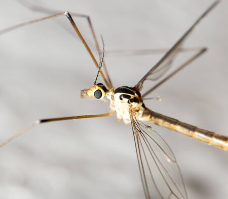 large mosquito. macro photo