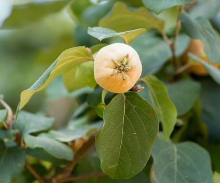 quince on a tree branch photo