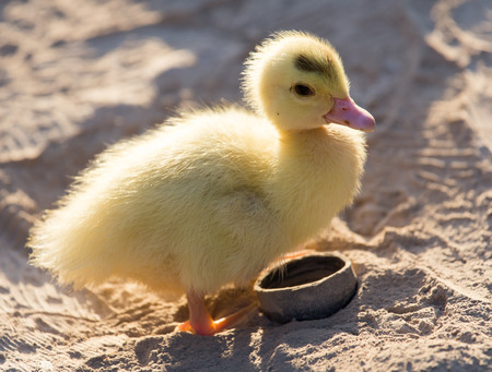 livestock sector: little duckling in nature Stock Photo