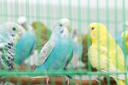 budgies in a cage photo