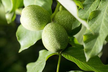 potherb: walnut tree in nature