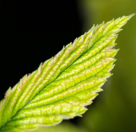grenadilla: leaves at night. close-up Stock Photo