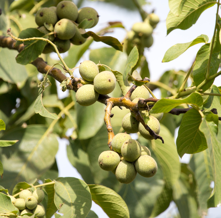 potherb: Walnuts on the tree in nature