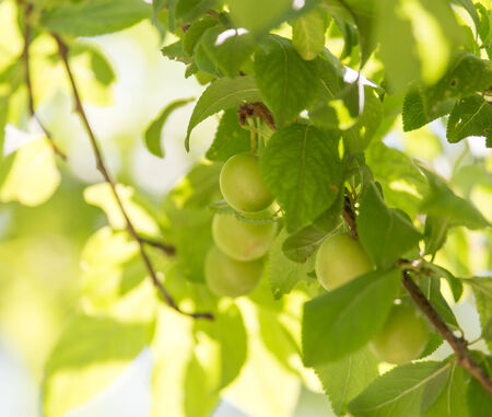 nus: unripe plums on the tree Stock Photo