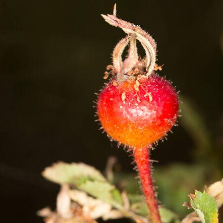 briar bush: wild rose in nature Stock Photo