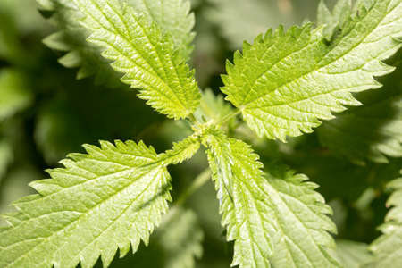 nettle in nature photo