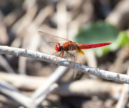 trithemis: Red Dragonfly on nature. macro