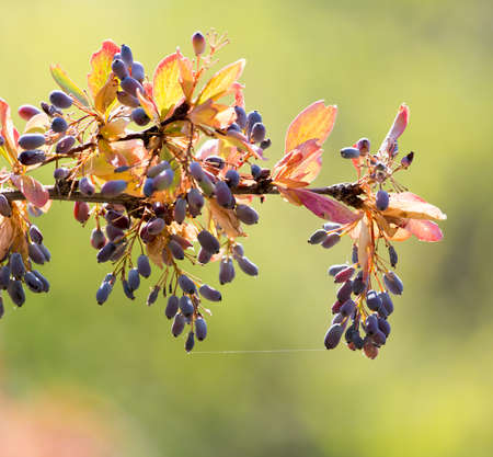 barberry: barberry on the tree in nature