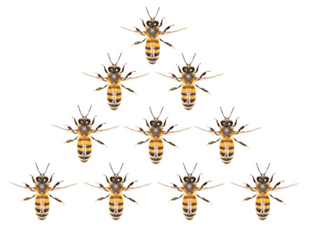 mellifera: a swarm of bees on a white background