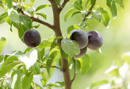 plums on the tree in nature photo