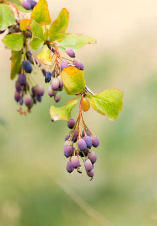 barberry: barberry Outdoors