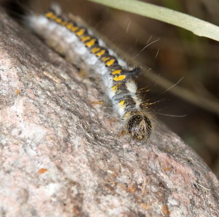 pupation: caterpillar in nature. close-up