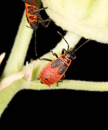 militaire sexy: col�opt�re rouge dans la nature. close-up Banque d'images