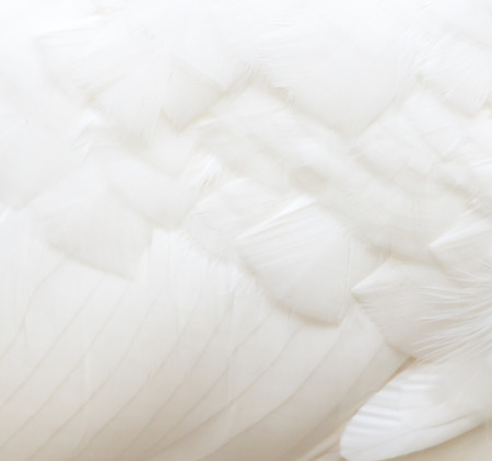 background of white feathers 版權商用圖片